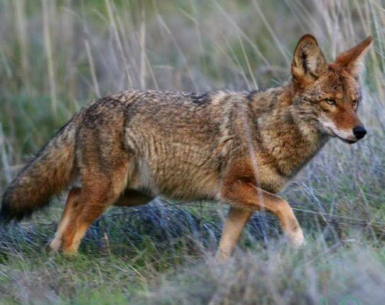 Coyotes Sightings are on the Rise